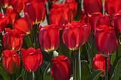 Stock Images of Tulipss (Tulipa), botanical garden, Munich, Upper.