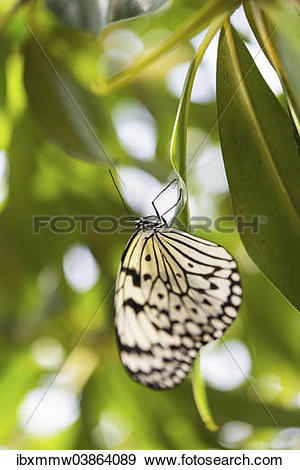 "Stock Photograph of ""Large Tree Nymph or Paper Kite (Idea leuconoe."