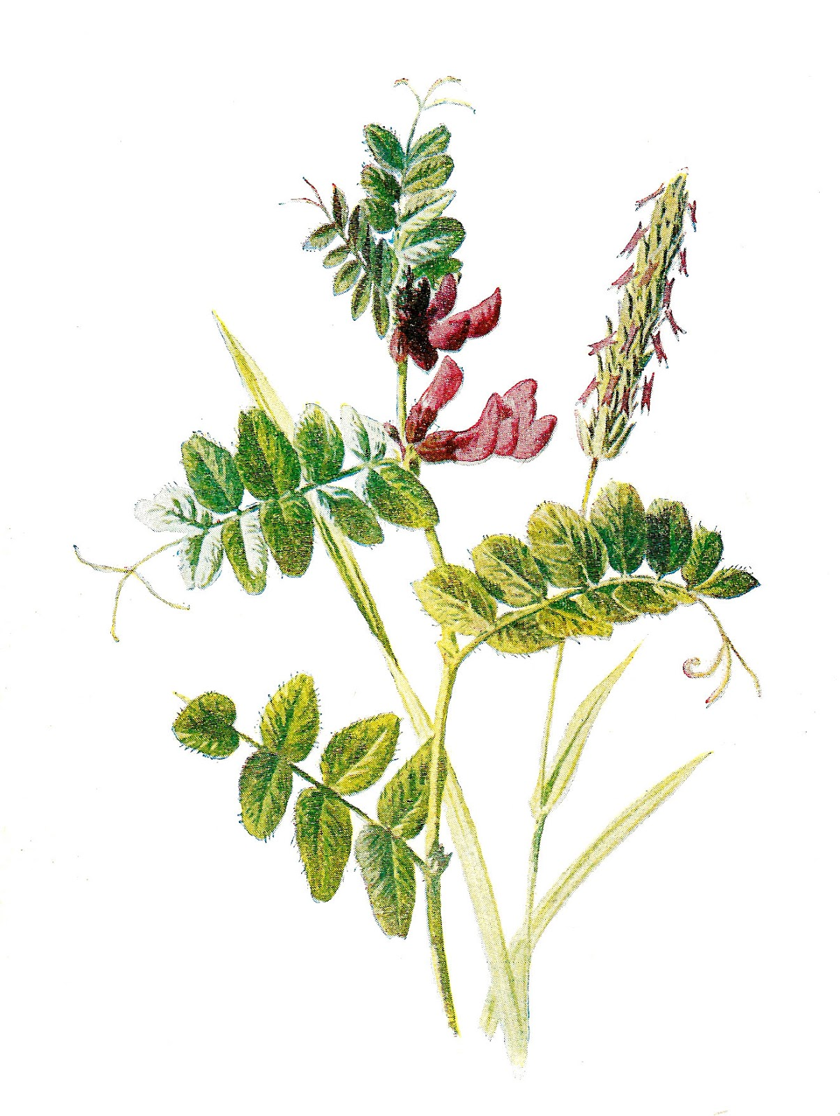 Botanical clip art free.
