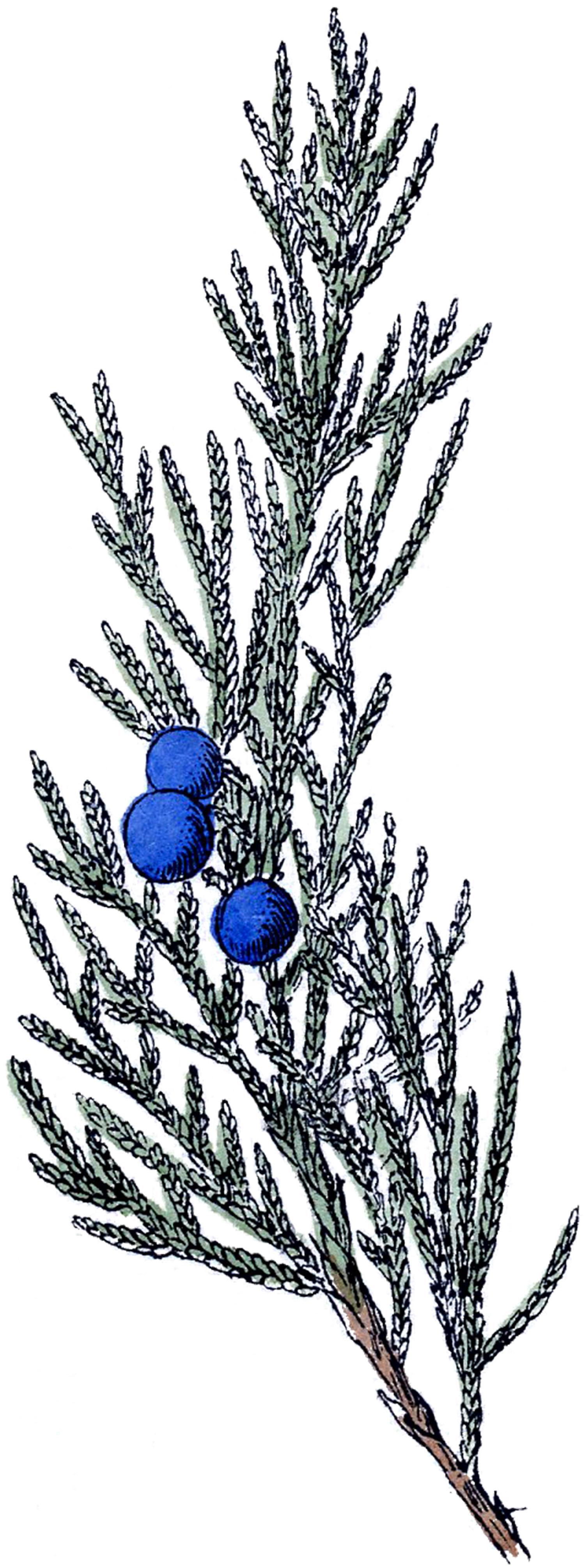 Free Vintage Botanical Clip Art.