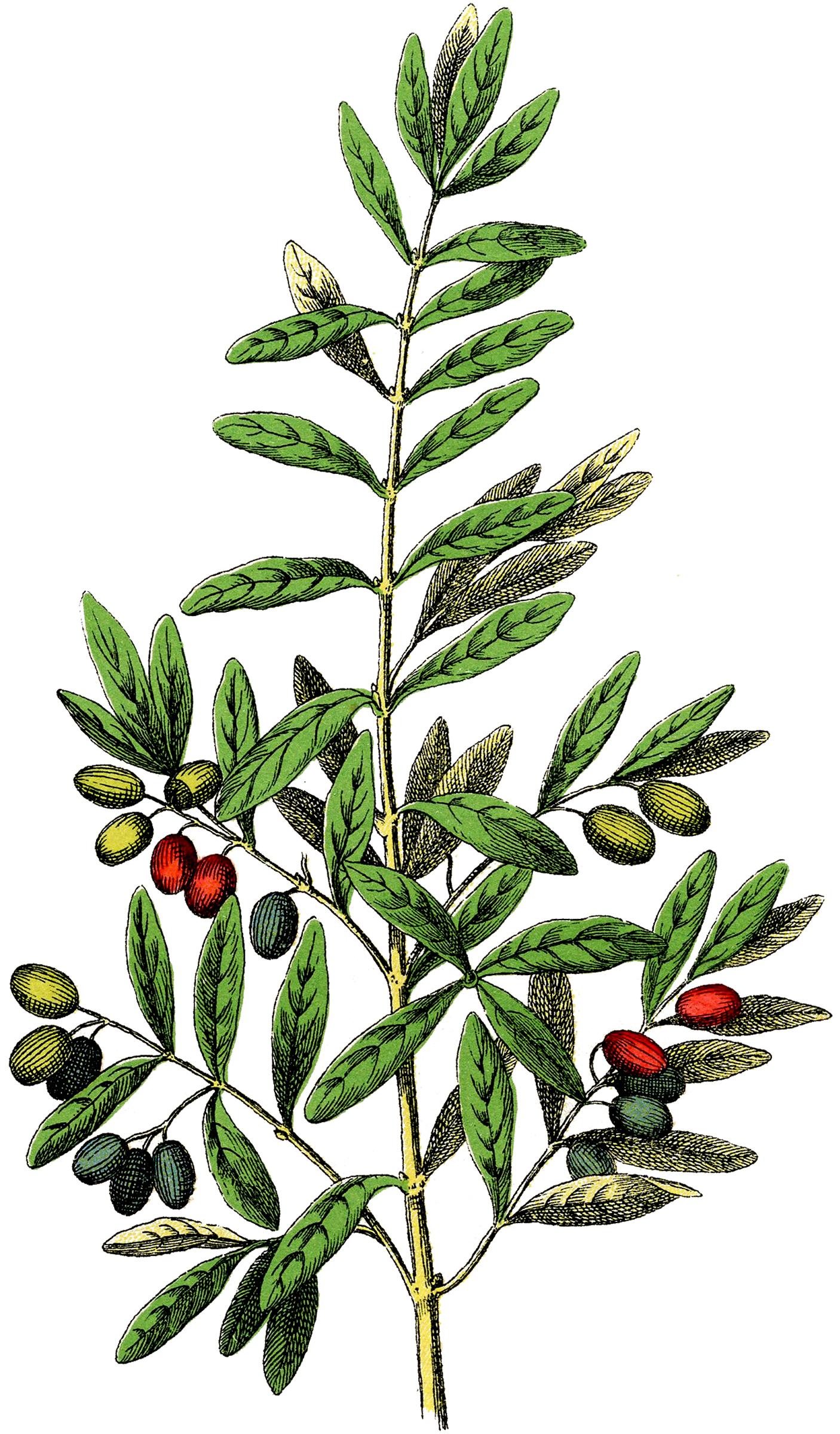 Free Botanical Olives Clip Art.