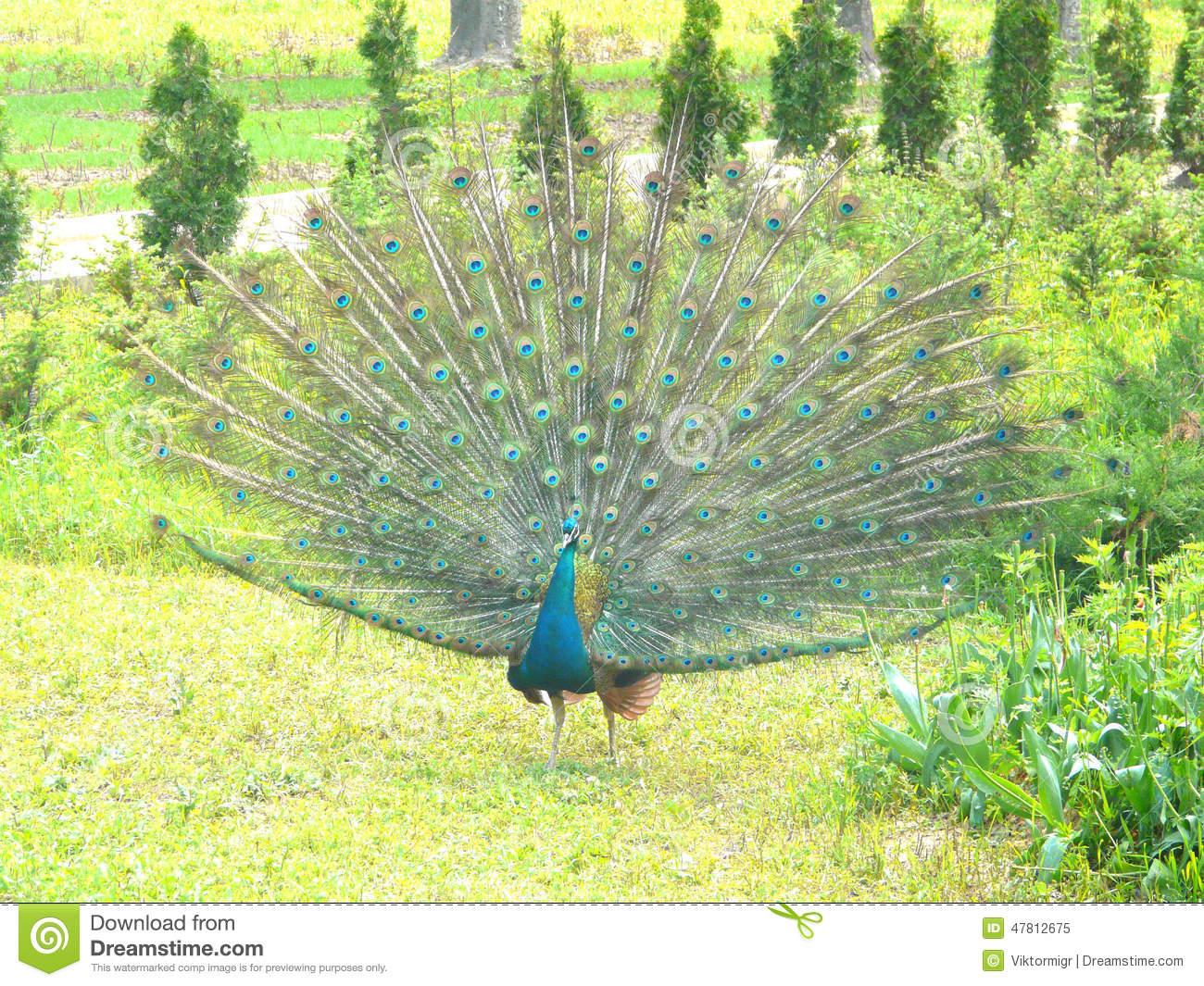 Peacock In The Botanical Garden. Stock Photo.