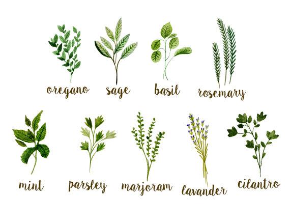 Botanical clipart, herbs clipart, watercolor botanicals clipart.