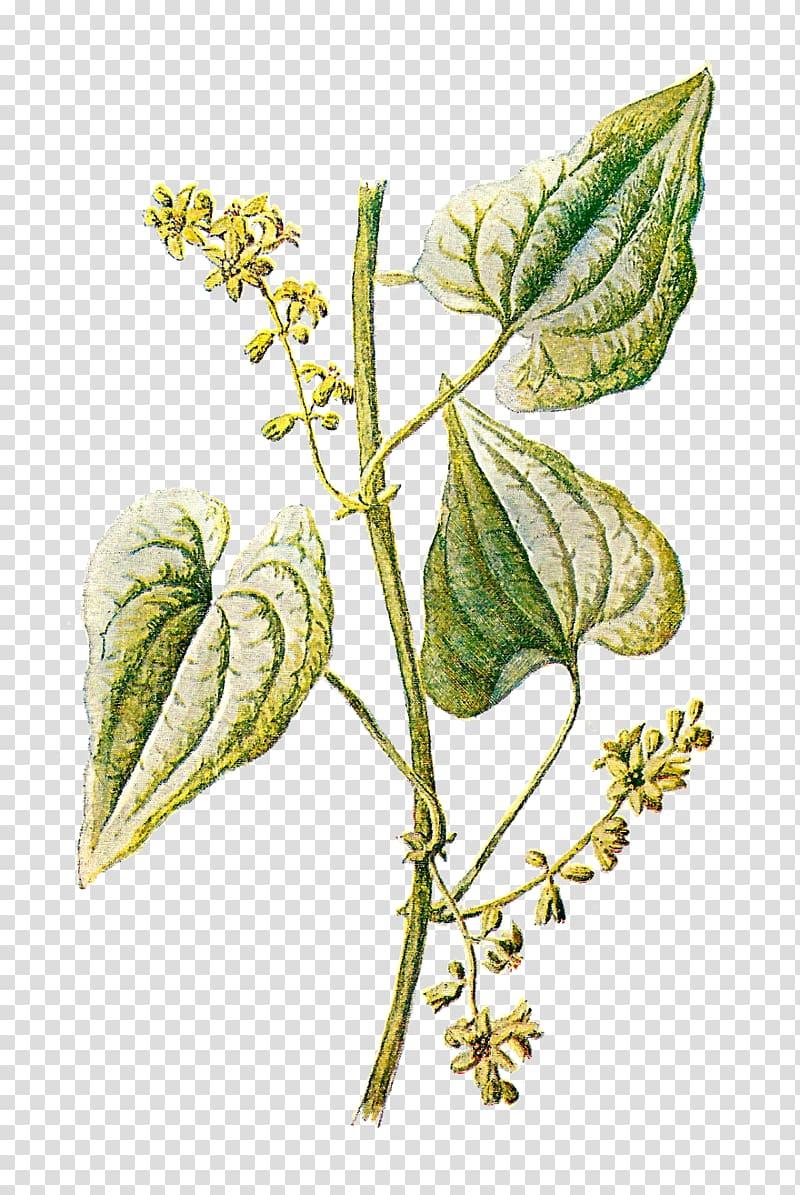 Green leaf plant, Botany Botanical illustration Herb , Vintage Herb.
