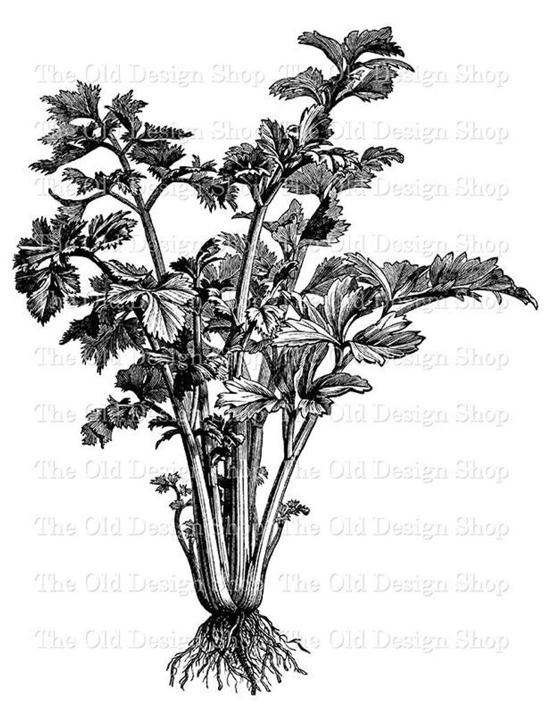 Celery Clip Art Vintage Botanical Illustration Digital Stamp Transfer Image.