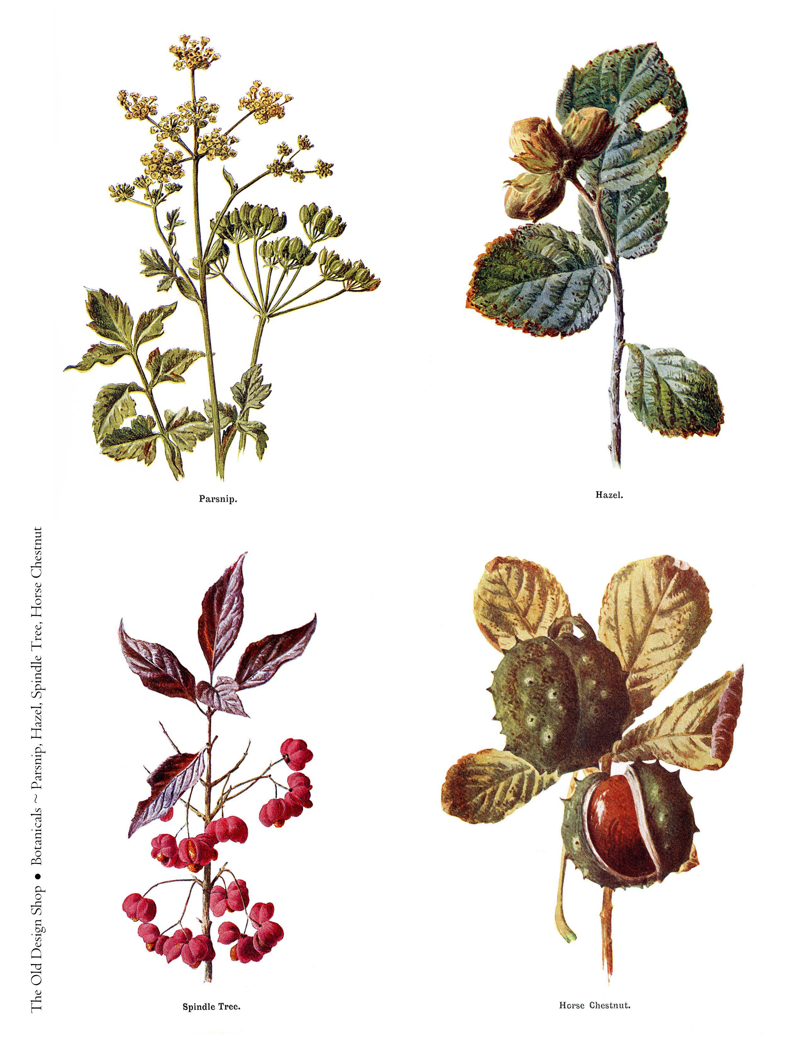 Free printable vintage botanical clip art illustrations digital.