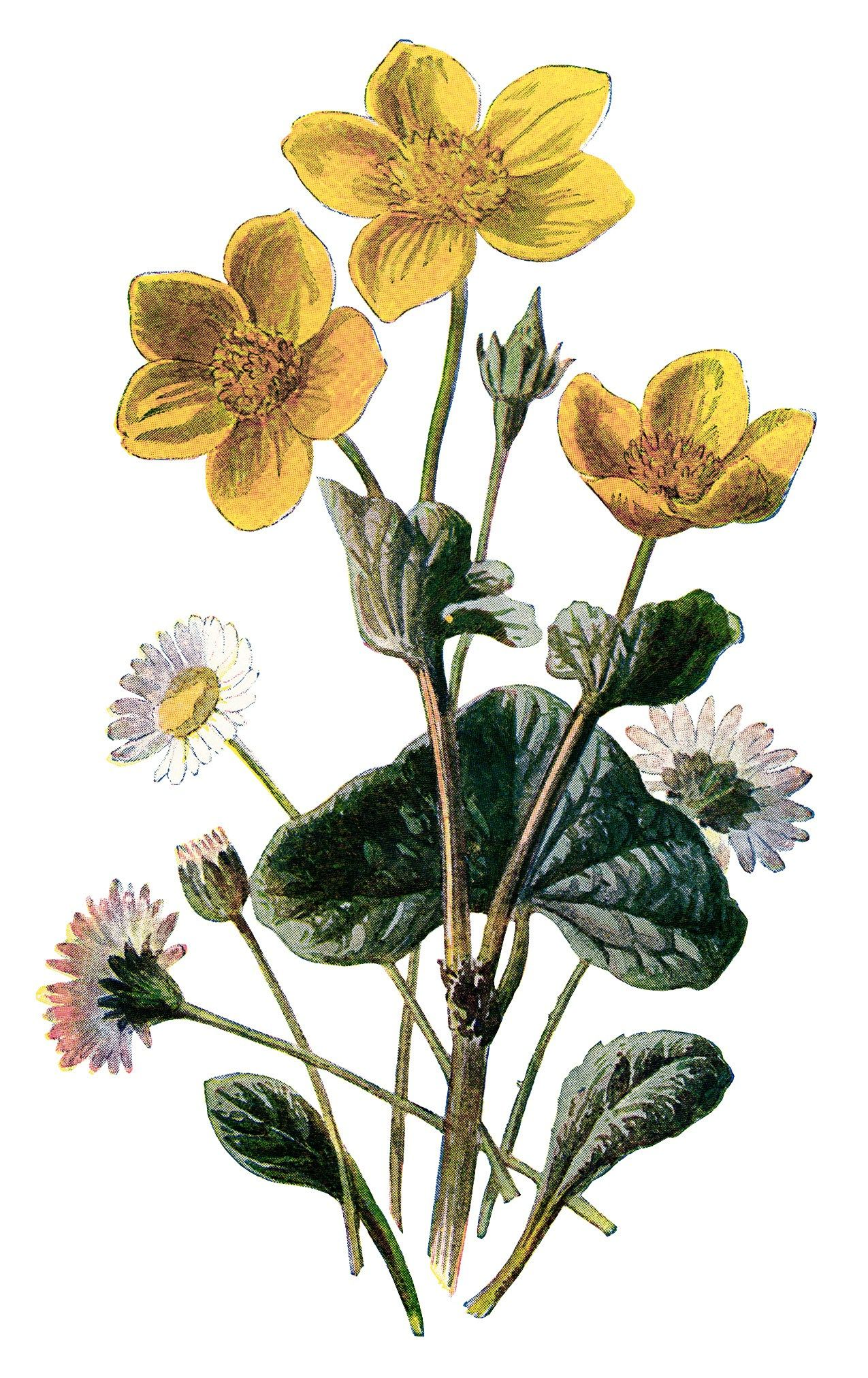 marigold clip art, vintage flower illustration, yellow flower.