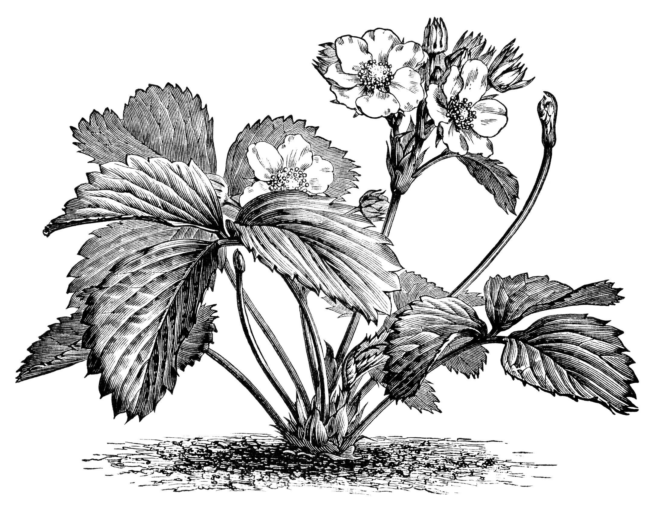 strawberry plant illustration, botanical clip art, vintage berry.