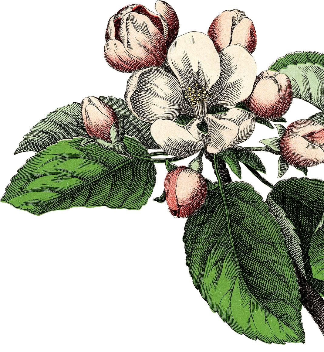 10 Pink Botanical Clip Art Vintage Flowers.