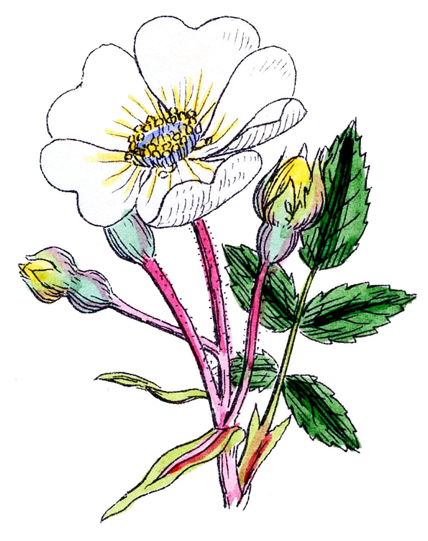 Vintage Botanical Graphics.