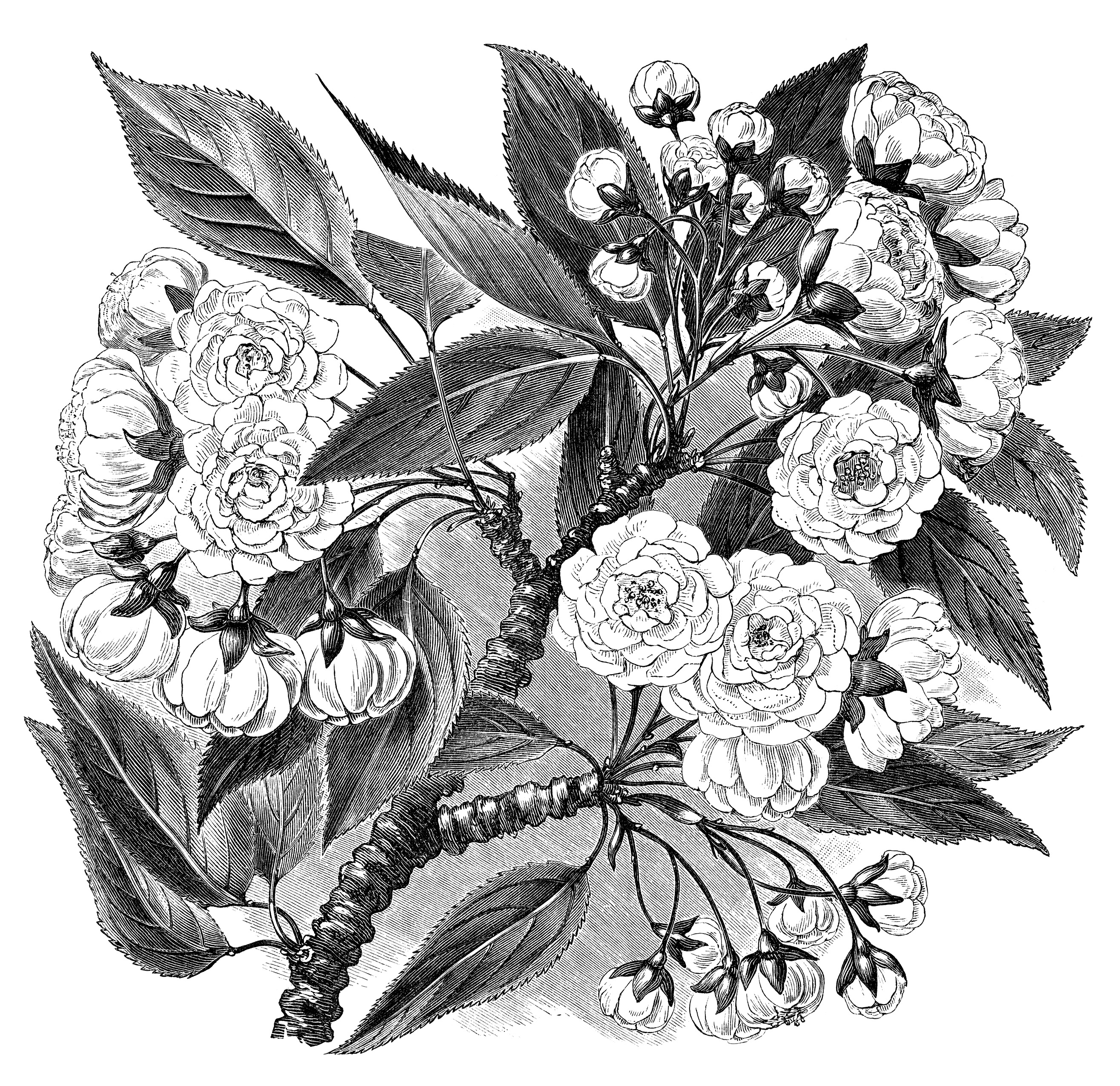 1000 Images About I Want Black Flowers On Pinterest: Vintage Flower Clipart Black And White