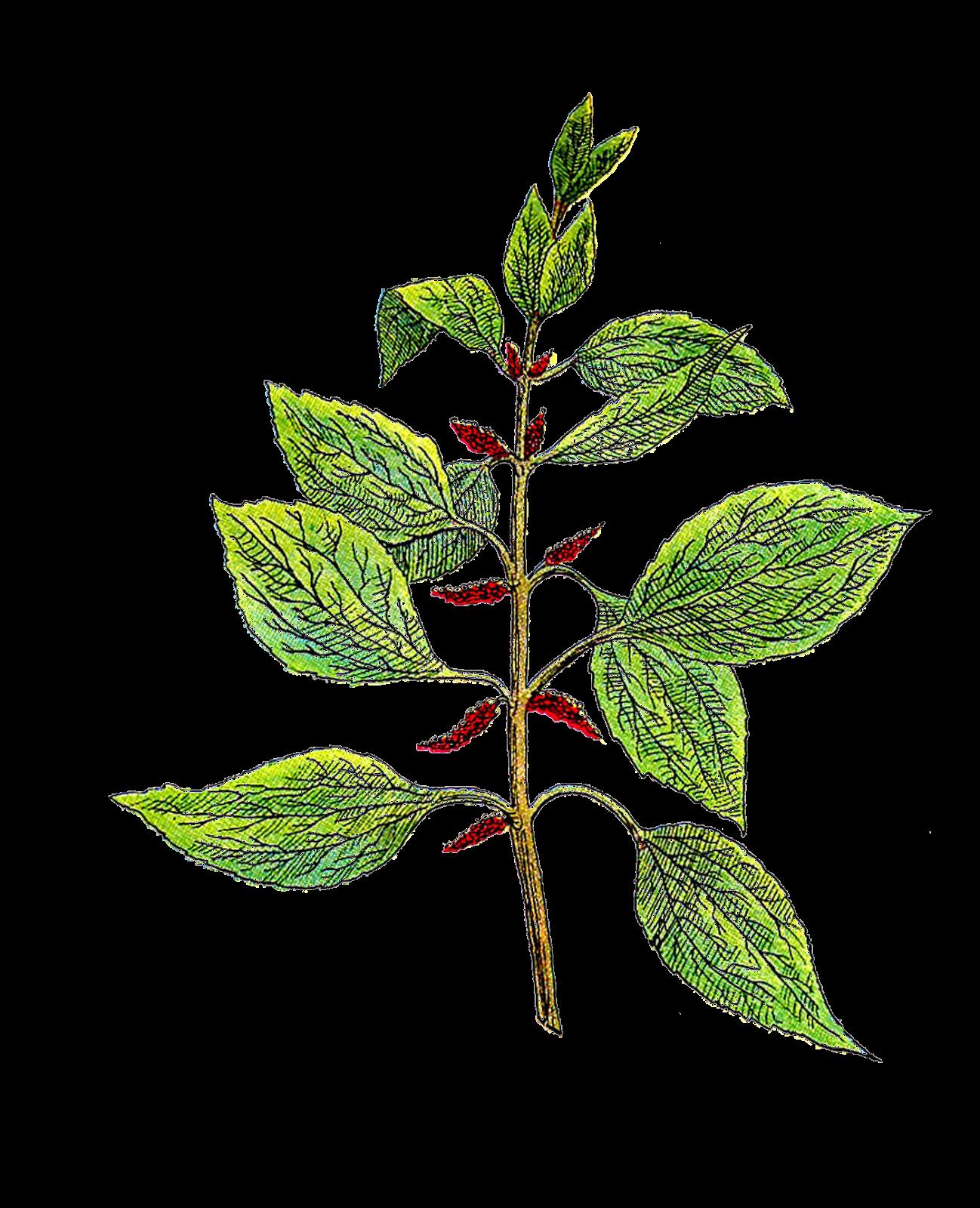 Vintage botanical clip art.