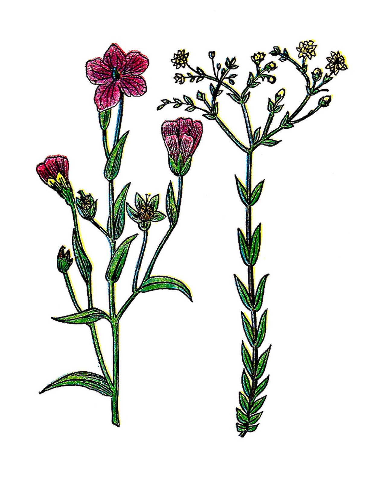 Botanical illustration clipart.