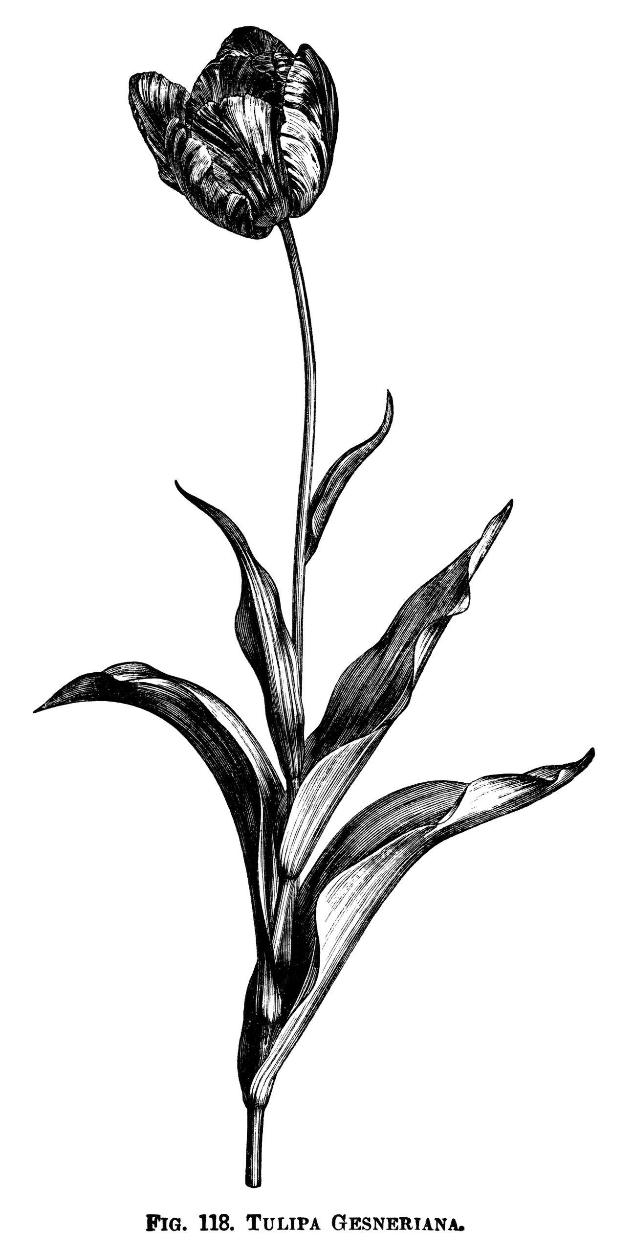 tulip clipart, black and white graphics, botanical flower.