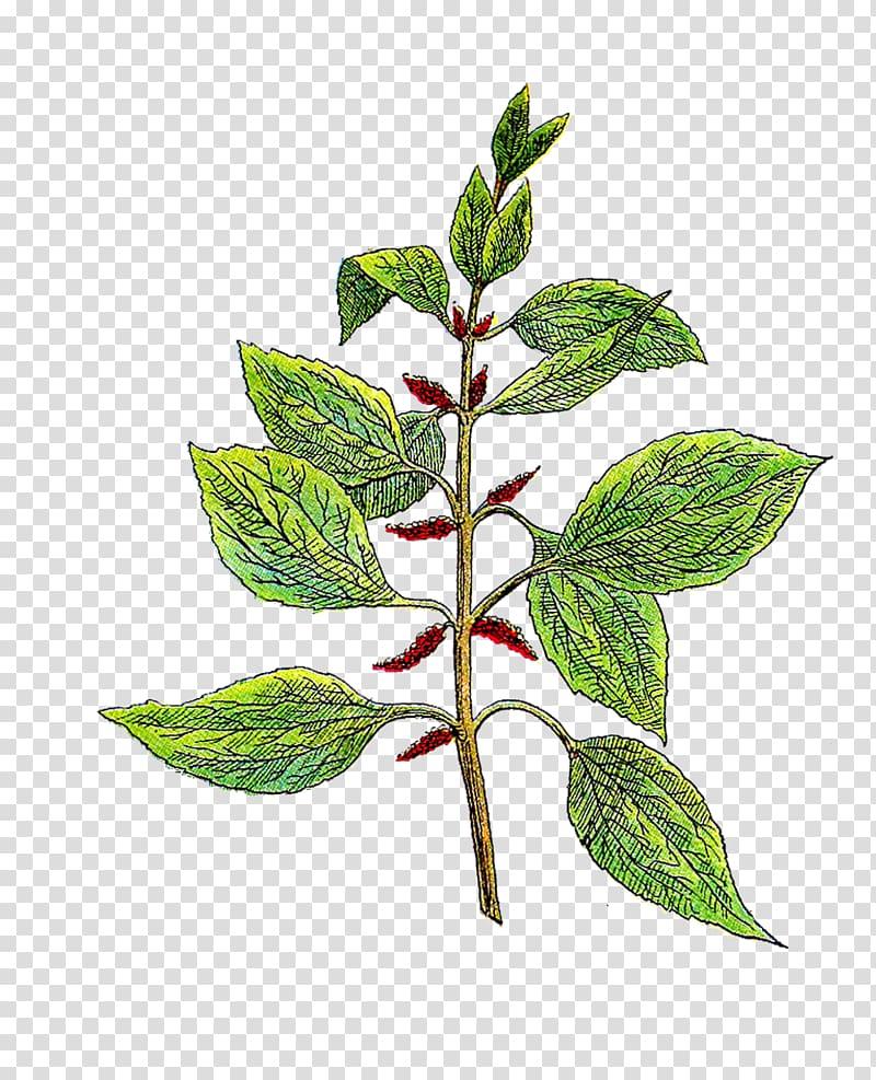 Botany Botanical garden Herb , Vintage Herb transparent.