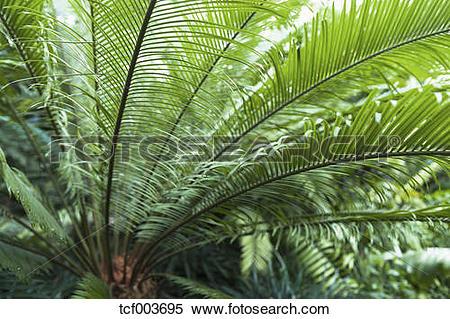 Stock Image of Germany, Munich, Botanical garden, Cycas taiwaniana.
