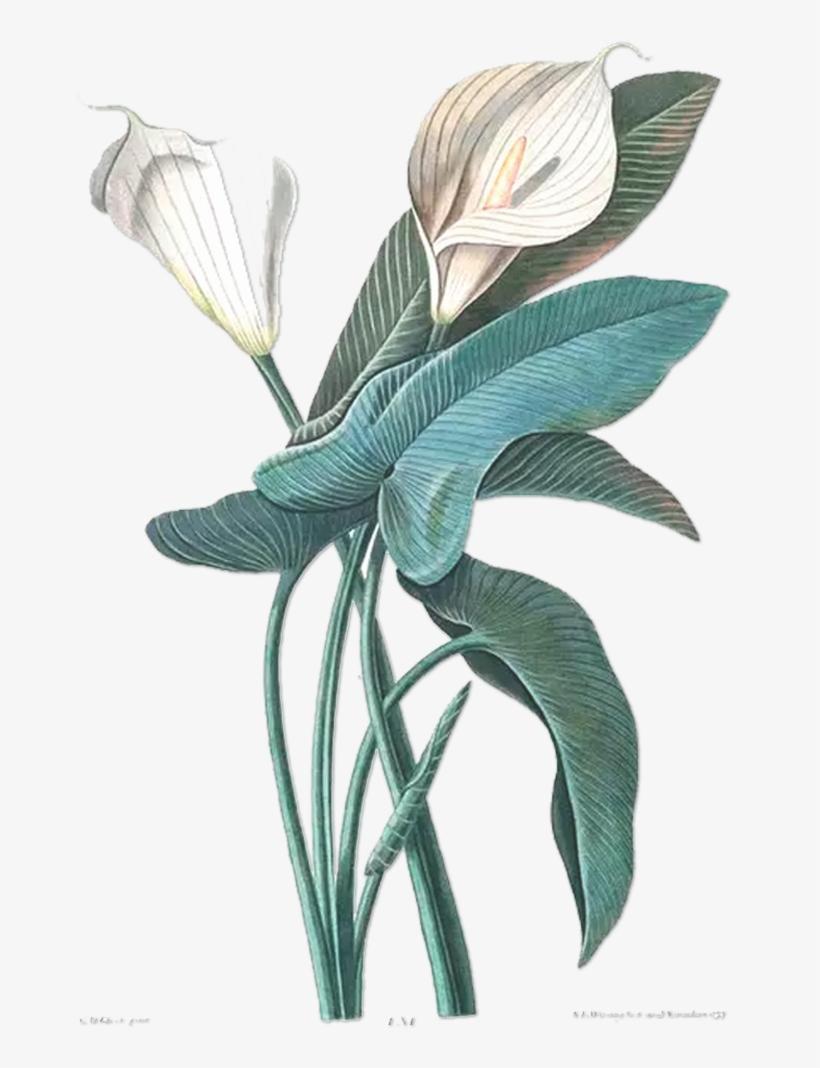 Flower Drawing Botany Botanical Illustration Illustration.
