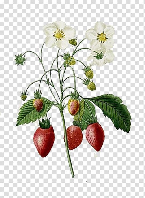 Strawberry plant illustration, Choix des plus belles fleurs.