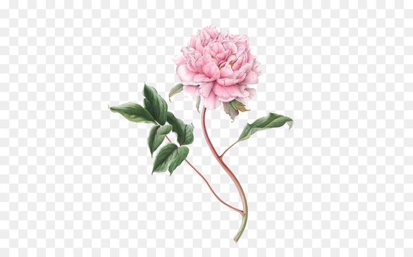Flower Botanical illustration Drawing Botany Illustration.