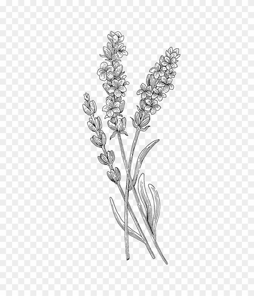 Botanical Illustration Botany Plant Transprent Png.