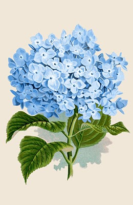 10 Botanical Hydrangea Images and Prints!.
