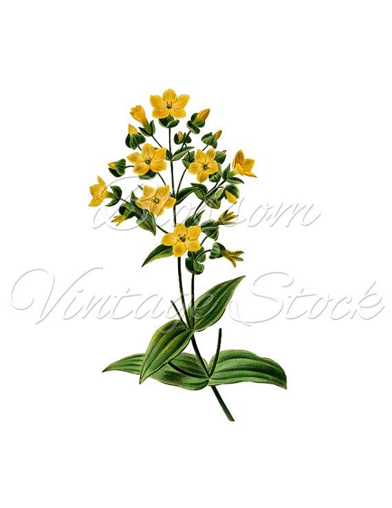 Yellow Flowers Botanical Print, Clip Art, PNG Digital Image, Vintage.