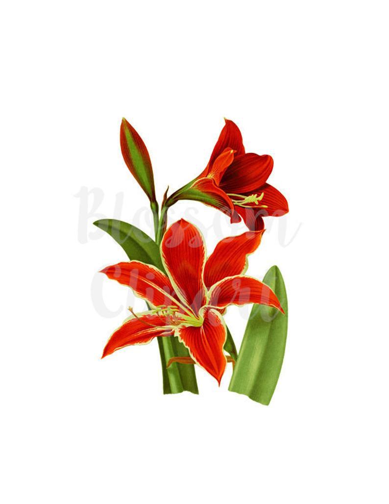 Flower Clipart Botanical Print, Clip Art Red Flower Vintage Botanical  Flower INSTANT DOWNLOAD.