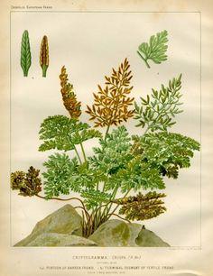 Botanical Illustration 'Yellow Canna' Flower Clipart Digital.