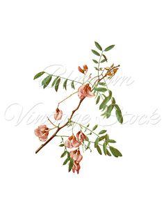 Vintage Roses Clipart, Floral Art, Botanical Print, Digital Image.