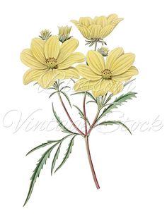 Botanical Prints, Violet Flowers Botanical Clipart, Digital Image.