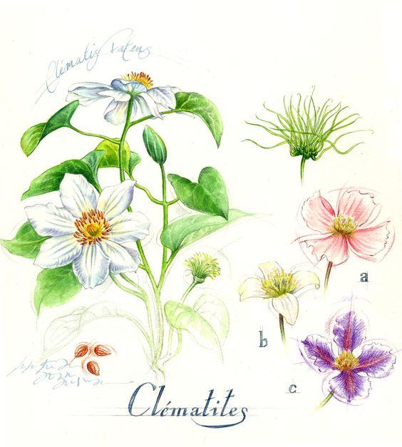 Illustration botanique clématite.