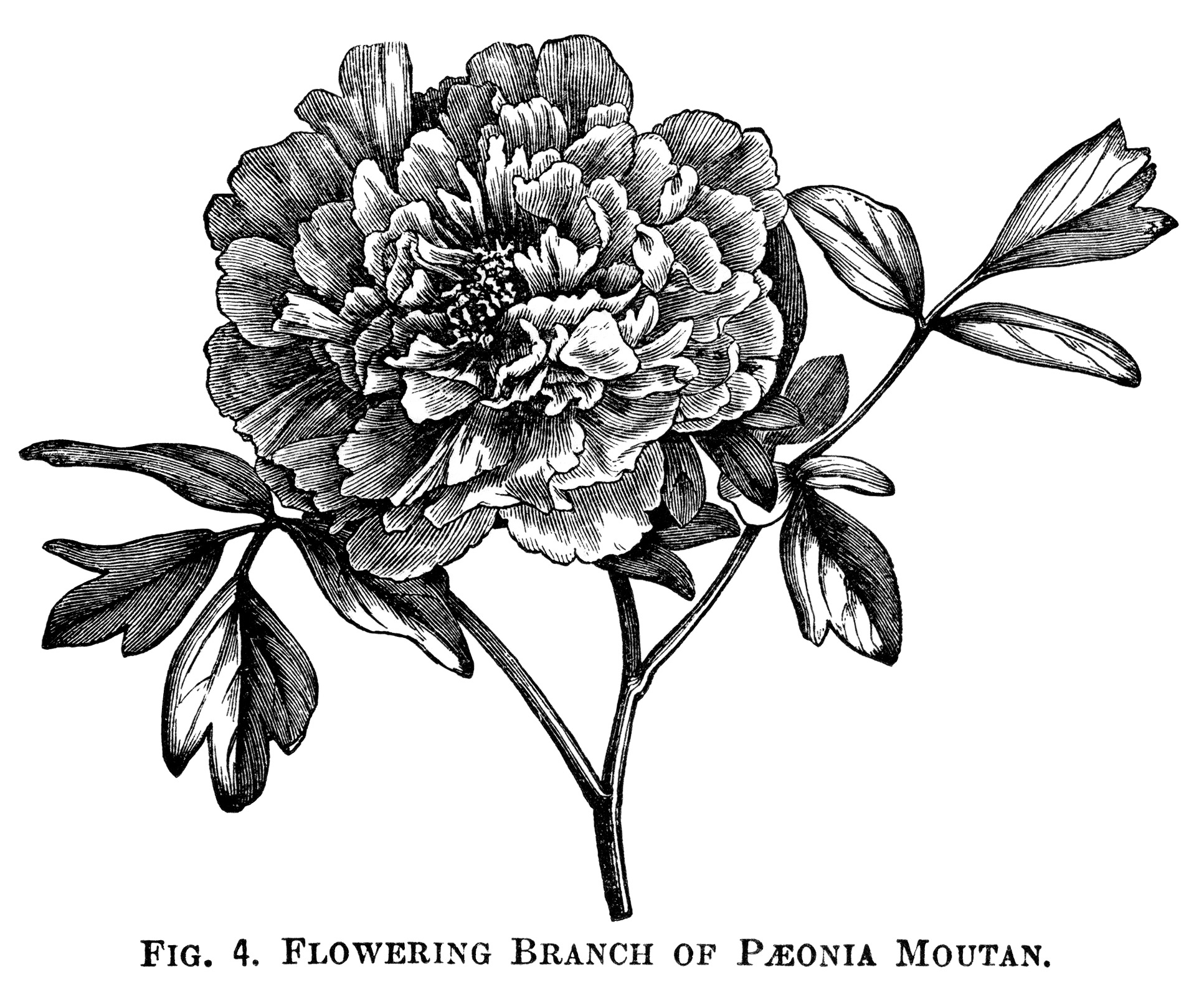 Moutan Paeonia, peony clip art, botanical engraving, black and.