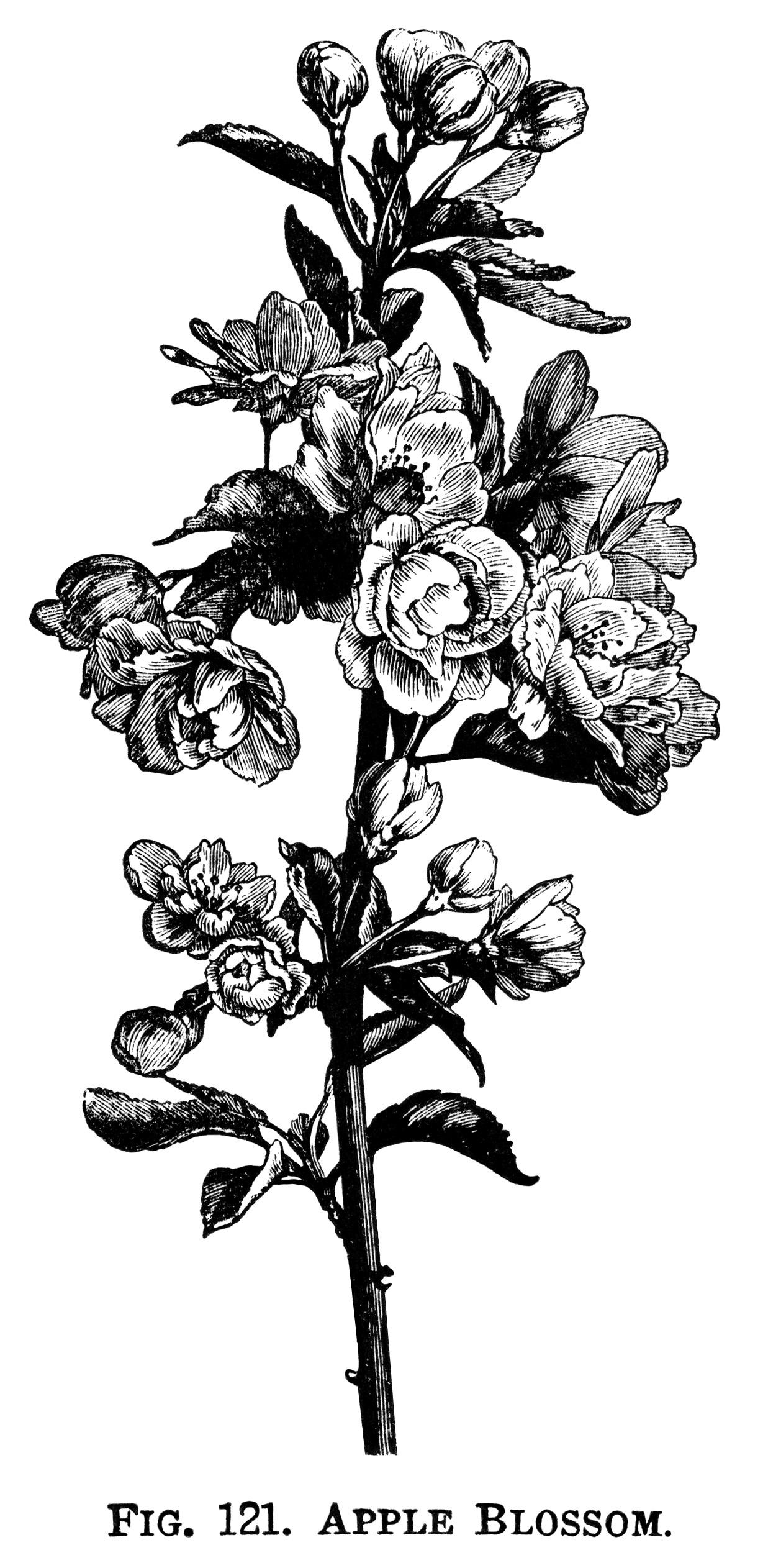 apple blossom clip art, flowering tree branch, apple flower.