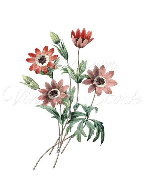 Botanical Prints, Red Flowers Botanical Illustration, Clipart.