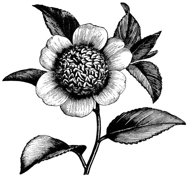 1000+ images about floral flower botanical graphics keeping on.