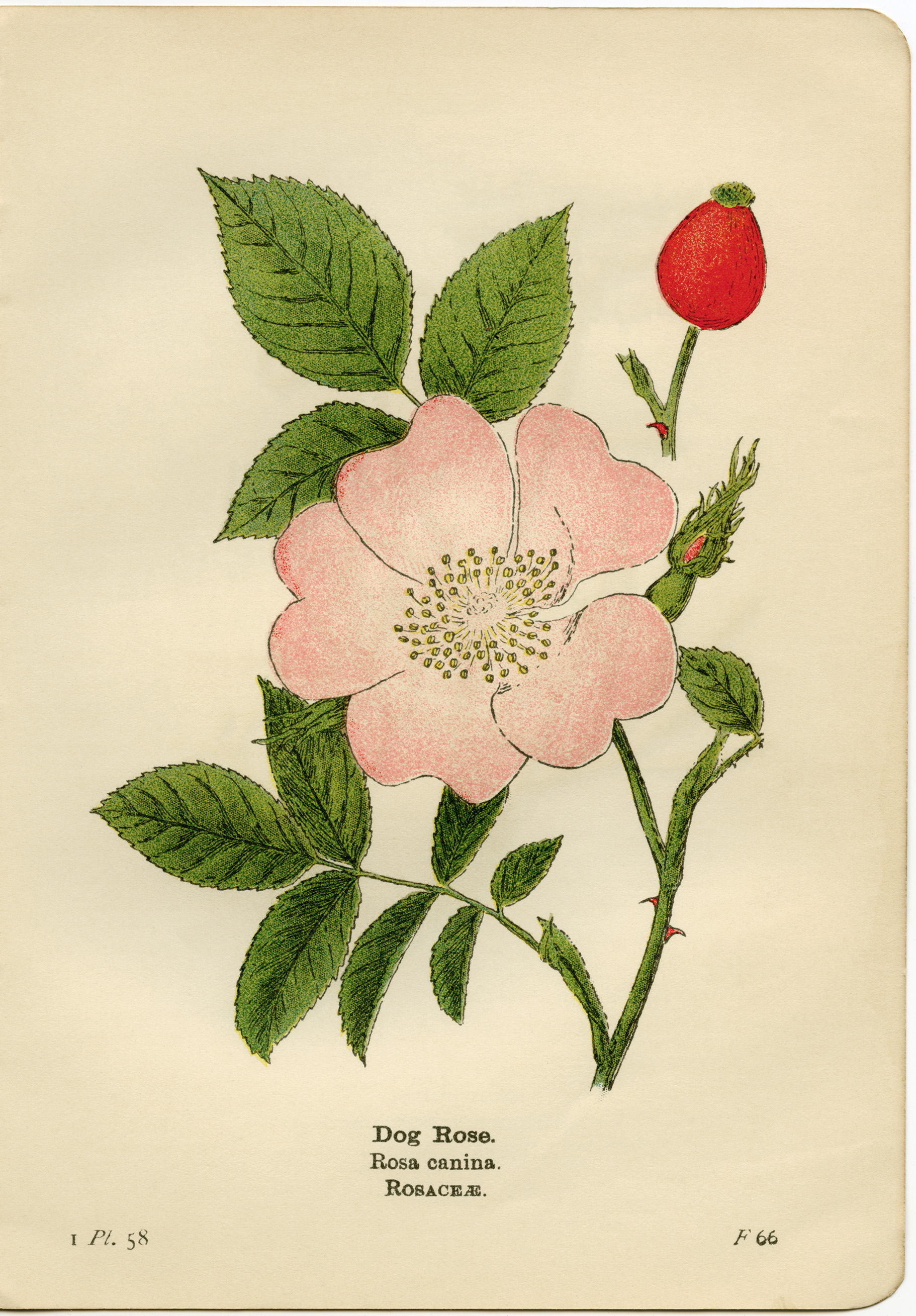 dog rose illustration, rosa canina, pink flower printable, vintage.