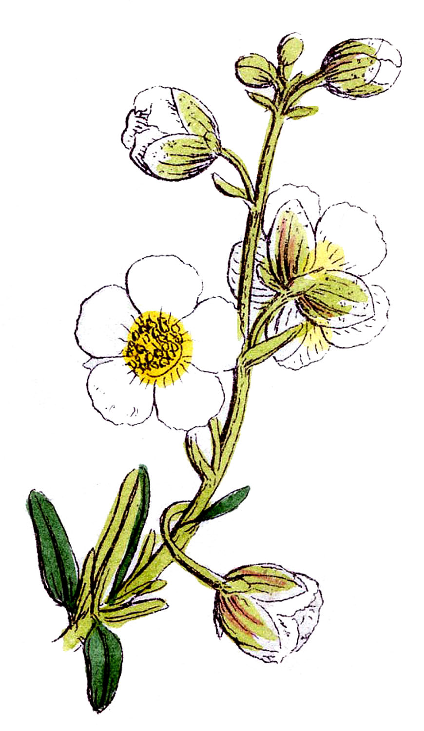 Botanical Graphic.