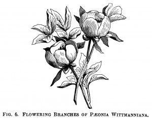 Wittimanniana peony, peony clip art, botanical engraving, black.