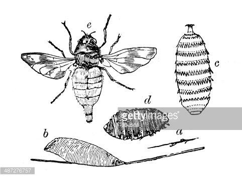 Antique illustration of horse botfly Clipart Image.