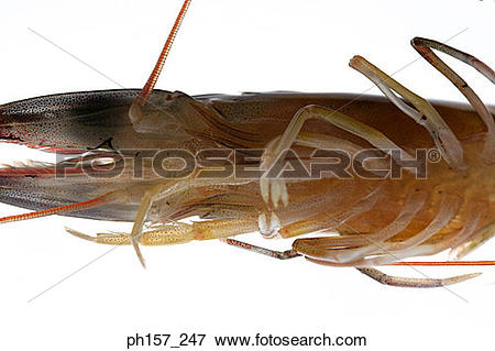 Picture of Prawn, bottom view ph157_247.