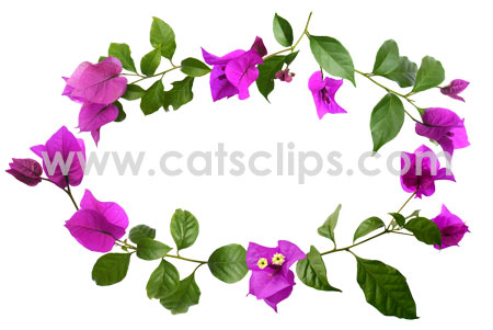 Bougainvillea Flowers Border.