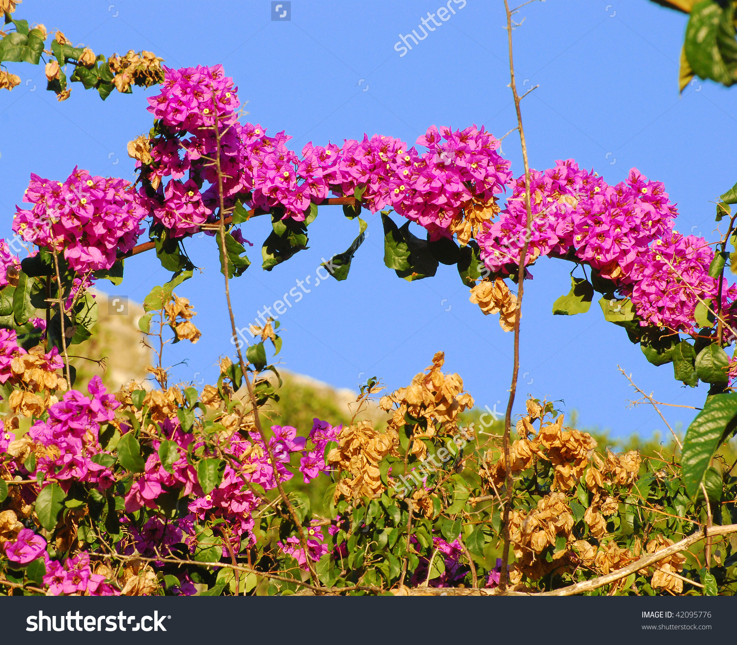 Bougainvillea Flowers Full Bloom Stock Photo 42095776.