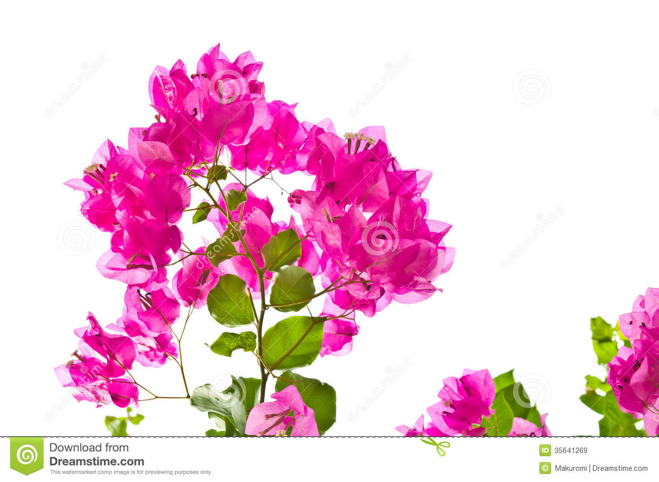 Bougainvillea Royalty Free Stock Images.