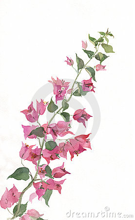 Bougainvillea Stock Illustrations.