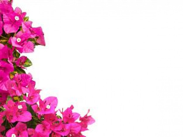 Bougainvillea Vectors, Photos and PSD files.