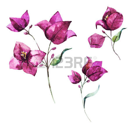 223 Bougainvillea Stock Illustrations, Cliparts And Royalty Free.