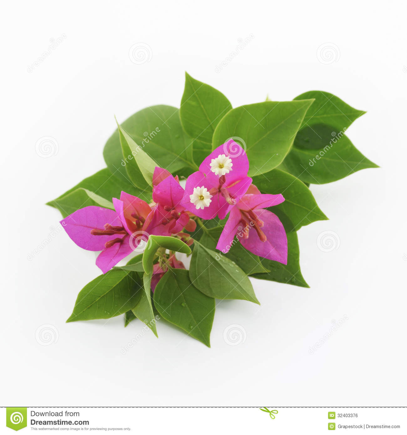 Bougainvillea Flowers Royalty Free Stock Image.