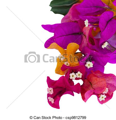 Bougainvillea Illustrations and Clipart. 178 Bougainvillea royalty.