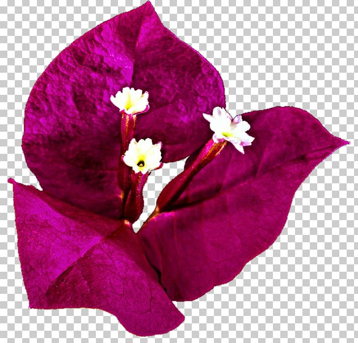 Bougainvillea Bougainville Island Drawing PNG, Clipart.