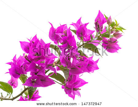 Purple Bougainvillea Flower Stock Photos, Royalty.